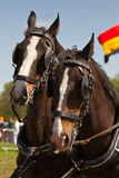 Dark brown draught-horses with blinkers. Two dark brown draught-horses with blinkers for couch on sunny day at festival Stock Photo