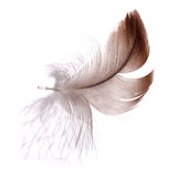 Dark brown feather isolated on white Stock Photo