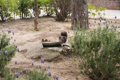 Dark brown fluffy squirrel in the park. royalty free stock image