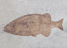 A dark brown fossil of a fish is in a slab of white stone royalty free stock photo