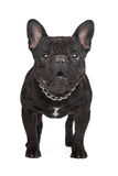 Dark brown French bulldog Royalty Free Stock Photos
