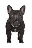 Dark brown French bulldog Royalty Free Stock Photos
