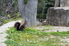 A dark brown furry squirrel sits hind legs near a large tree in the park. stock photo