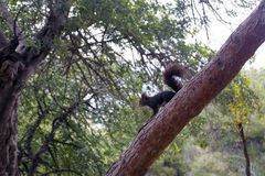 A dark brown furry squirrel sits on a large pine tree in a park. Cute rodent stock images