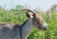 Dark brown goat on the summer meadow Royalty Free Stock Photos
