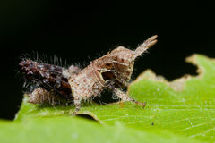 A dark brown, hairy grasshopper Royalty Free Stock Image