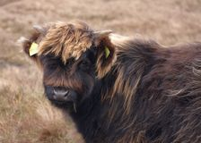 Dark brown Highland cattle portrait Stock Photos