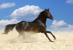 Dark brown horse. Beautiful dark brown horse running gallop in dust Royalty Free Stock Photography