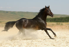 Dark brown horse. Beautiful dark brown horse running gallop in dust Royalty Free Stock Images