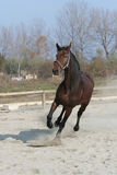 Dark brown horse. Dark brown racehorse gallops of freedom Stock Photo