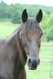 Dark Brown Horse. A closeup view of the head of a dark brown horse royalty free stock photography