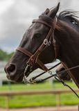 Dark Brown Horse Clean Profile Royalty Free Stock Photos
