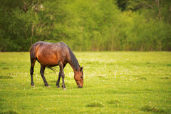 Dark brown horse grazes on a green spring meadow against a background of a young forest in the setting sun Royalty Free Stock Photography