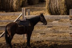 A dark brown horse in harness stands near a paddock with harvested haystacks stock photo