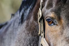 Dark brown horse head with right eye Stock Photos