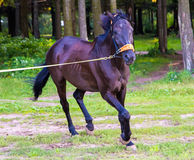 Dark brown horse running Royalty Free Stock Image
