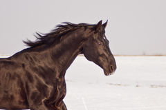 Dark brown horse running. On the white field background Royalty Free Stock Photo