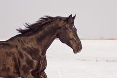 Dark brown horse running Royalty Free Stock Photo