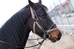 Dark brown Horse. Brown Thoroughbred with halter and bridle Royalty Free Stock Photography