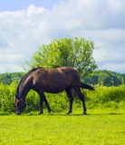Dark brown horse walks and grazing on pasture in village Stock Photo
