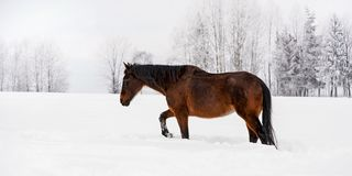 Dark brown horse walks on snow covered field in winter, blurred trees in background, view from side royalty free stock photography