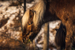 Dark brown icelandic horse Royalty Free Stock Image