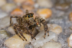 A dark brown jumping spider with prey - a fly Royalty Free Stock Photos
