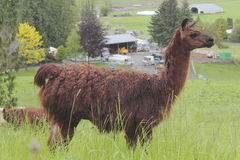 Dark Brown Lama Stock Photo
