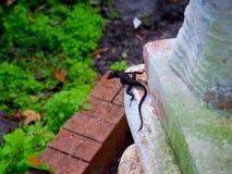 Dark Brown Lizard on Concrete. Dark brown lizard perched on the corner of a concrete banister at Leu Gardens in Orlando, Florida stock image