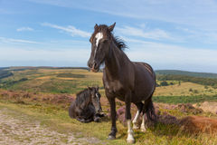 Dark brown ponies and purple heather Stock Photo