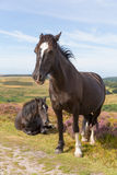 Dark brown ponies and purple heather Stock Photos