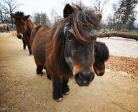 Dark brown ponies Royalty Free Stock Photos