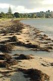 Dark brown seaweed on shore Royalty Free Stock Photos
