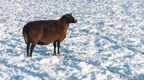 Dark brown sheep in the snow Royalty Free Stock Photos