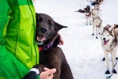 Dark brown sled dog hugging its human handler Stock Photo