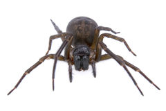 Dark brown spider on a white background Royalty Free Stock Images