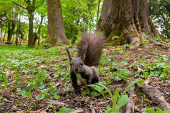 Dark brown squirrel black, gray Royalty Free Stock Photography