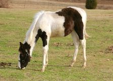 A dark brown and white colt horse in a field. Royalty Free Stock Photos