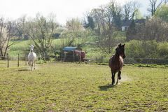 Dark Brown and White Horses Galloping in a Green Field on a Brig royalty free stock photography