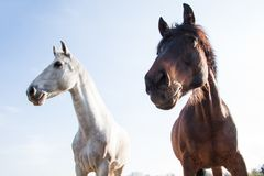 Dark Brown and White Horses Outdoors on a Bright Sunny Day Royalty Free Stock Photo