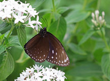 The dark brown with white spots butterfly sitting on flower. The dark brown with white spots butterfly sitting on white flower stock photography