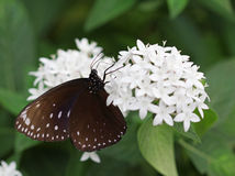 The dark brown with white spots butterfly sitting on white flower Stock Photos