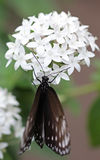 The dark brown with white spots butterfly sitting on white flower Stock Photography
