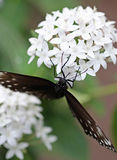 The dark brown with white spots butterfly sitting on white flower Stock Images