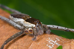 A dark brown and whitish raft spider/fishing spide Stock Photo