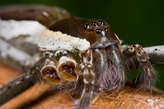 A dark brown and whitish raft spider/fishing spide Stock Photography