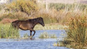 Dark Brown Wild Horse in Shallow Water Royalty Free Stock Images