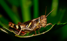 Dark brown and yellow grasshopper standing on green leaf Royalty Free Stock Photo