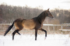 Dark buckskin akhal-teke horse trotting in winter paddock. The dark buckskin akhal-teke horse trotting in winter paddock stock images