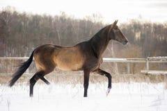 Dark buckskin akhal-teke horse trotting in winter paddock Stock Images
